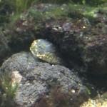 苔取り貝・フネアマ貝