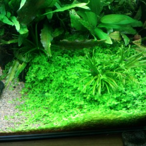 ニューラージパールグラス 前景向きの匍匐しやすい初心者向けの水草