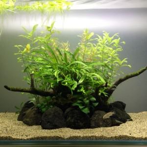 陰性水草60cm水槽