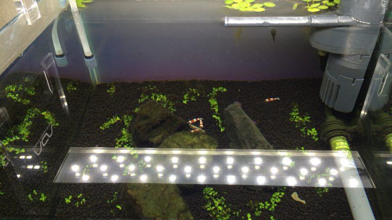 ニューラージパールグラスを植えた水槽