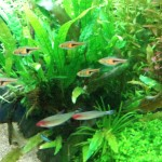 ラスボラ・エスペイ 水槽の中層を群れて泳いでくれる熱帯魚