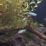 グリーンネオン・テトラ 水草水槽に群泳させると美しい熱帯魚!