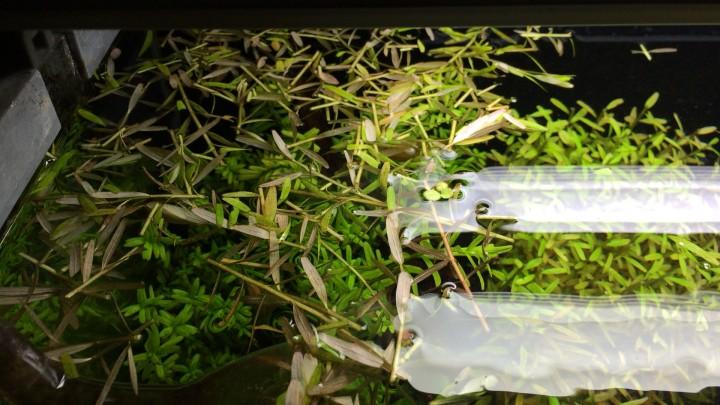 水草のトリミングカス