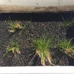 ヘアーグラスショートの水上葉育成 放置してから約2ヶ月