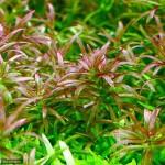 ゴイアス・ドワーフロタラレッド 前景に使え赤くなり匍匐するロタラ系の水草