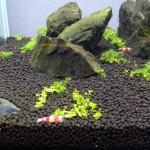 レッドビーシュリンプが水中を舞いまくる 30cm水槽 90日目