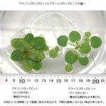 アマゾンフロッグビット 水槽内でも増えてくれる浮草の定番種