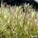 ロタラspワイナード 中景から後景で使え繊細な姿が魅力で小型のロタラ