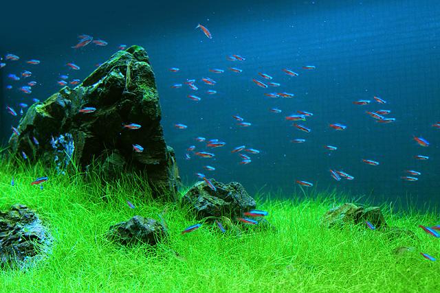 ヘアーグラス・ショートは、葉先がカールして生長してもあまり背丈が高くならないのが特徴の前景向きの水草です。