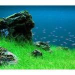 ヘアーグラス・ショート 前景草の人気種!草原風レイアウトならこの水草で