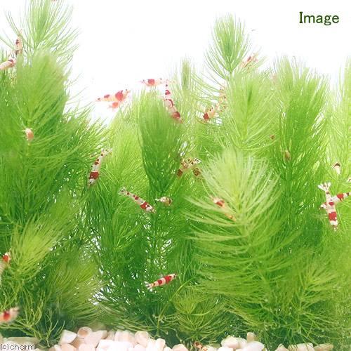 マツモ水質浄化能力が高い水草
