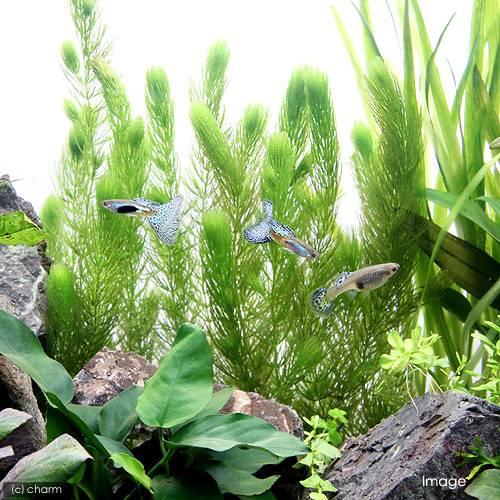 水質浄化能力の高い水草のマツモ