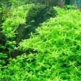 グリーンロタラ 水草水槽で定番の水草