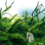ウィローモス 低光量で育ち活用方法も色々ある簡単水草