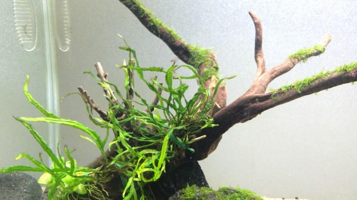 流木のミクロソリウム類