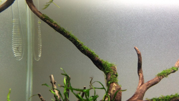 流木に巻いたウィローモス