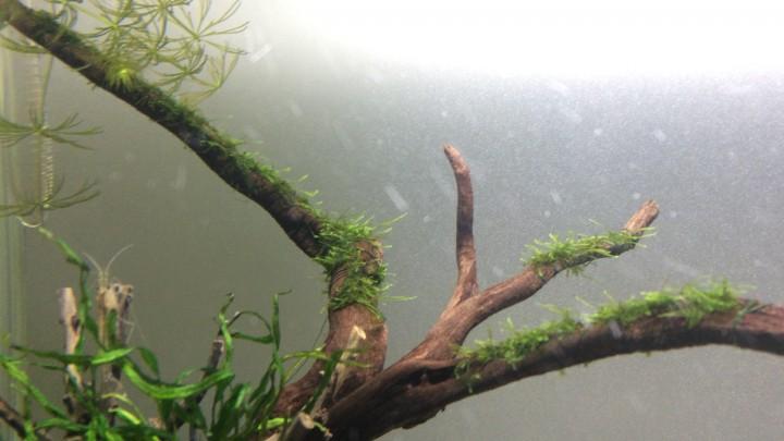 流木に巻きつけたウィローモスが伸びた状態