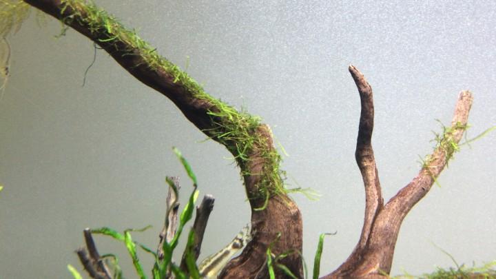 60cm水槽のウィローモス類の状態