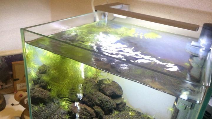 自然光が当たり出しアオミドロが発生した30cm水槽 130日目