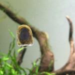 コウモリカノコ貝 小型水槽向けの小さいコケ取り貝