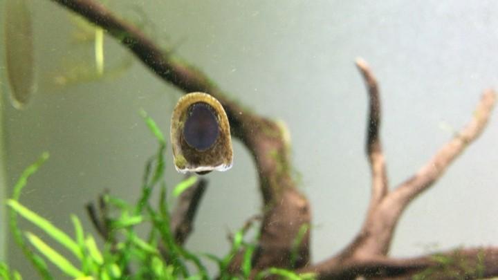 コウモリカノコ貝が水槽ガラス面に