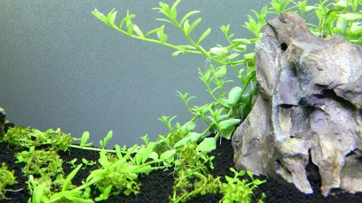 グリーンロタラの節から水中葉の脇芽