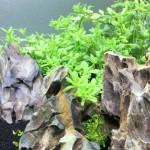水上葉から水中葉に展開しだした60cm水槽 10日目