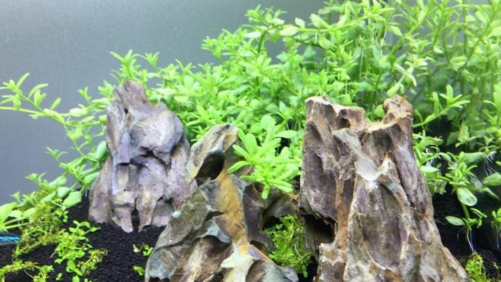 水上葉から水中葉に展開しだしたグリーンロタラ