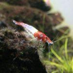 ルリーシュリンプ 透明な体に赤のコントラストが綺麗なエビ!