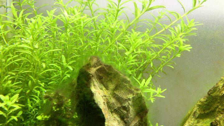 レイアウト素材にも緑藻