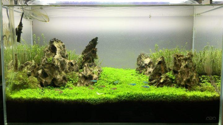 60cm水槽の約4か月後の水景
