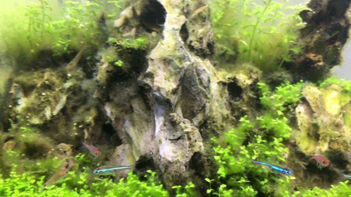 プロブラッシュで藻類を擦り落としたレイアウト用の石