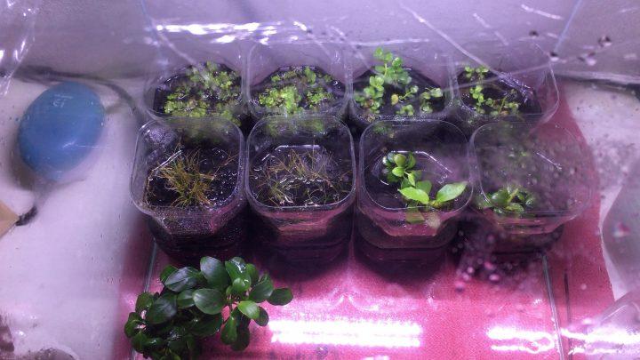 水草を水槽で水上葉として栽培