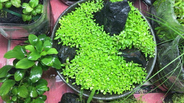 カーペットパールグラスの生長に影響を与えるソイルの温度