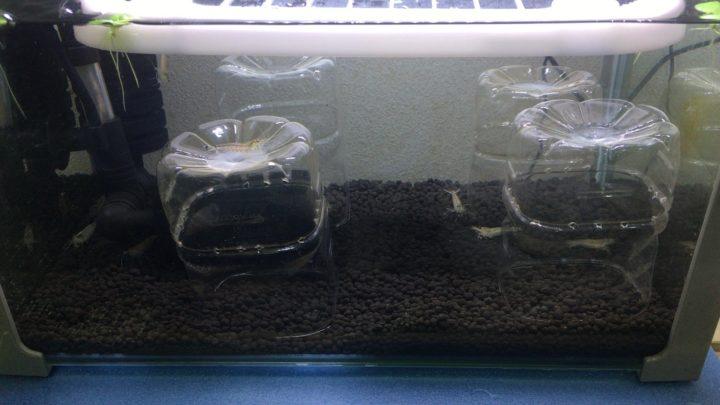 ストック水槽内のヤマトヌマエビ