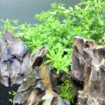 グリーンロタラ 水草レイアウト水槽で定番の緑の有茎草!