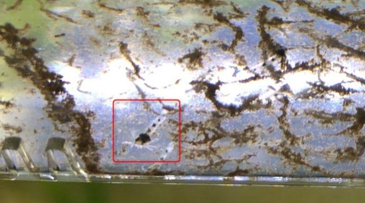 コリドラス・ピグミーの稚魚、孵化後1週間
