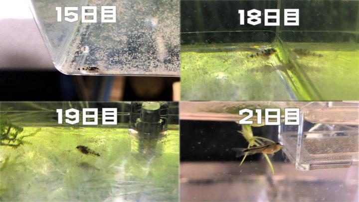 コリドラス・ピグミー孵化後3週間