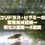 コリドラス・ピグミーの繁殖育成記録~孵化3週間~4週間まで