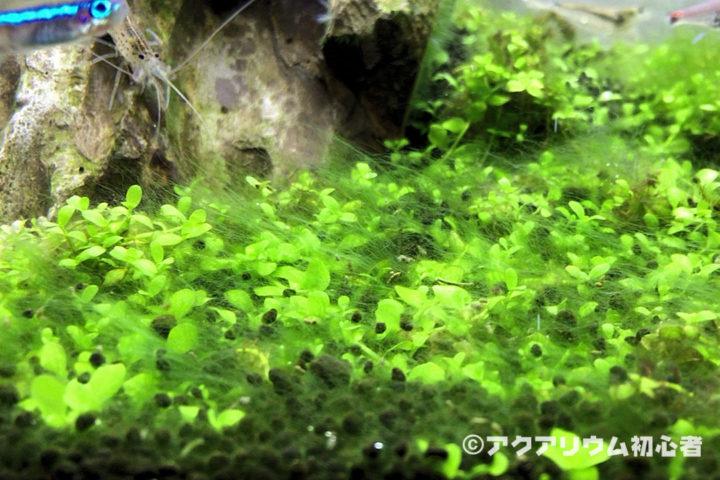 前景水草に緑藻が付着