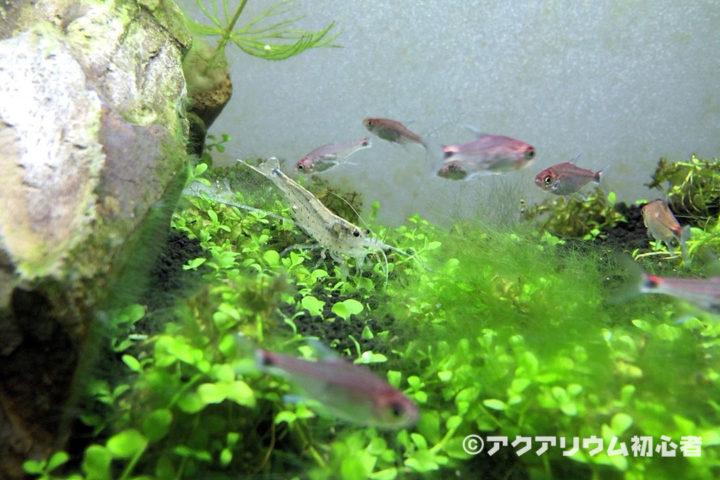 緑藻対策でヤマトヌマエビを増やす