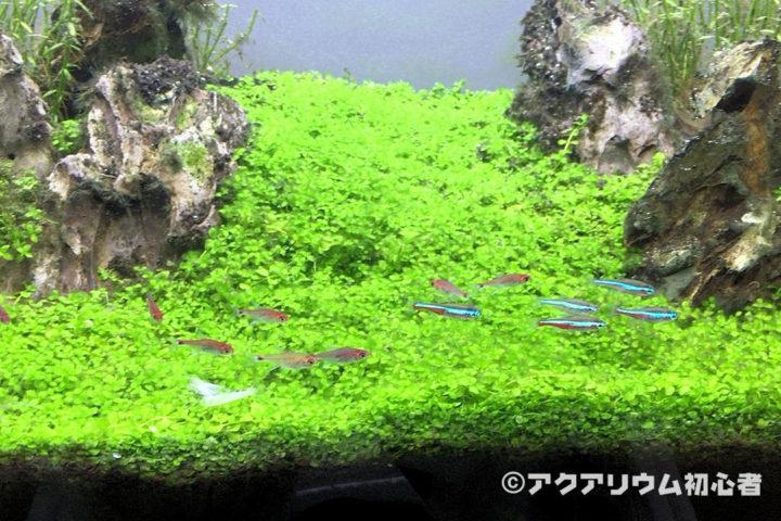 前景草のニューラージパールグラス