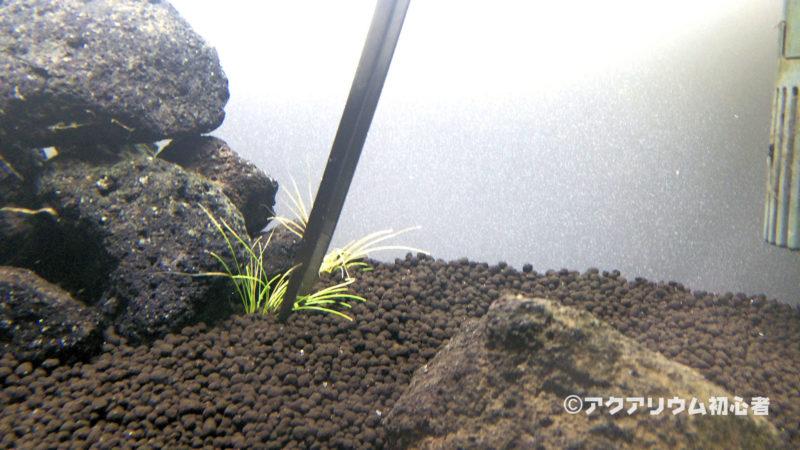 ヘアーグラス・ショートを植栽した30cm水槽 2日目