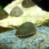 フネアマ貝