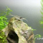ヤマトヌマエビ コケ取りエビの定番種。このエビ入れずにどのエビ入れる?