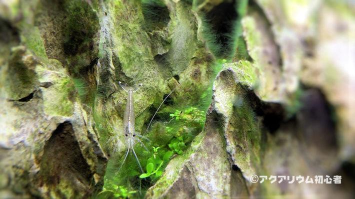 ヤマトヌマエビの寿命