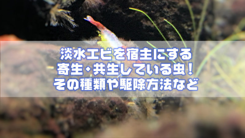 淡水エビを宿主にする寄生・共生している虫!その種類や駆除方法など