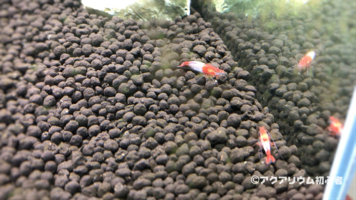 茶コケ(珪藻)を食べるルリーシュリンプ