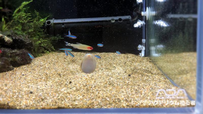 フネアマ貝の移動速度