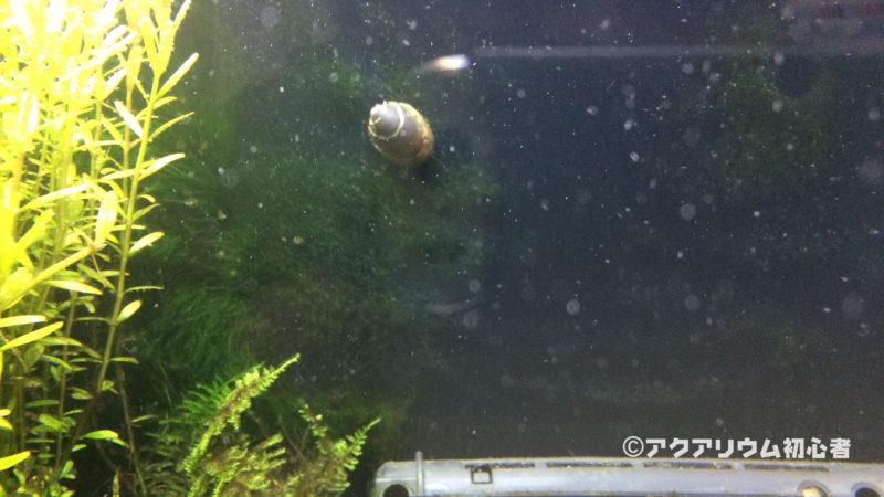 フネアマ貝のコケ取り能力